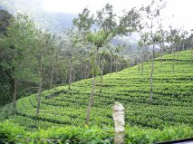 Kerala tea plantation